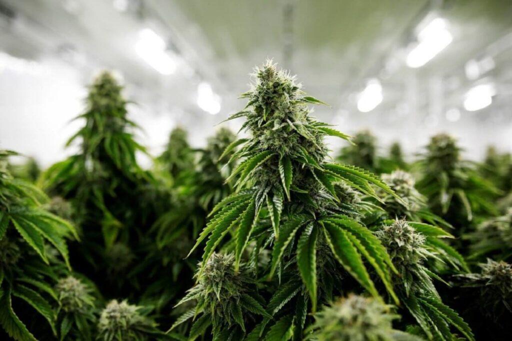 marihuána termesztés
